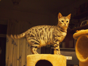 Bengal cat with spotty fur