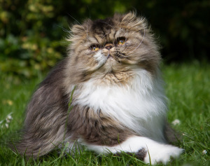 Persian cat with short muzzle