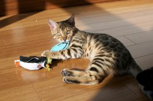 Young Bengal cat playing