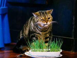 Cat Chelsea eating healthy grass