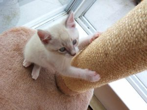 Kitten scratching a post